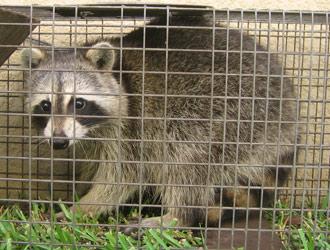 Philadelphia Raccoon Removal Raccoon Control Trapping